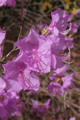 Rhododendron mucronulatum (Korean Rhododendron), flower, throat