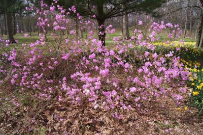 Rhododendron mucronulatum (Korean Rhododendron), habit, spring