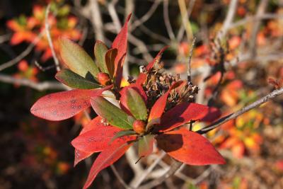 Rhododendron micranthum (Manchurian Rhododendron), leaf, fall