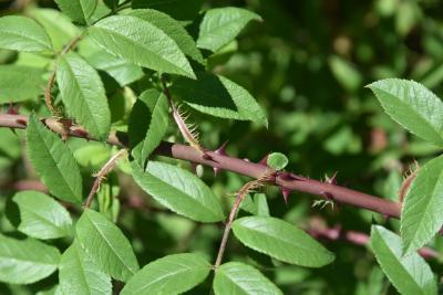 Rosa albertii (Turkestan Rose), bark, stem, thorns