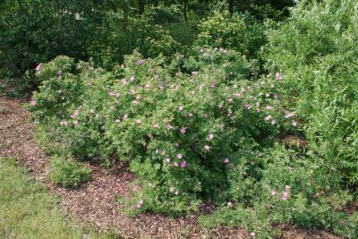 Rosa blanda (Smooth Wild Rose), habit, spring