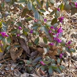 Rhododendron sichotense (Sikhote Mtn. Azalea), habit, spring