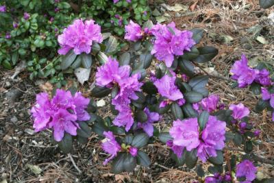 Rhododendron sichotense (Sikhote Mtn. Azalea), inflorescence