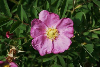 Rosa blanda (Smooth Wild Rose), flower, full