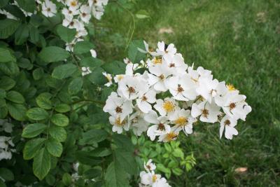 Rosa multiflora var. cathayensis (Multiflora Rose), inflorescence