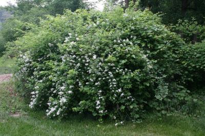 Rosa multiflora var. cathayensis (Multiflora Rose), habit, spring