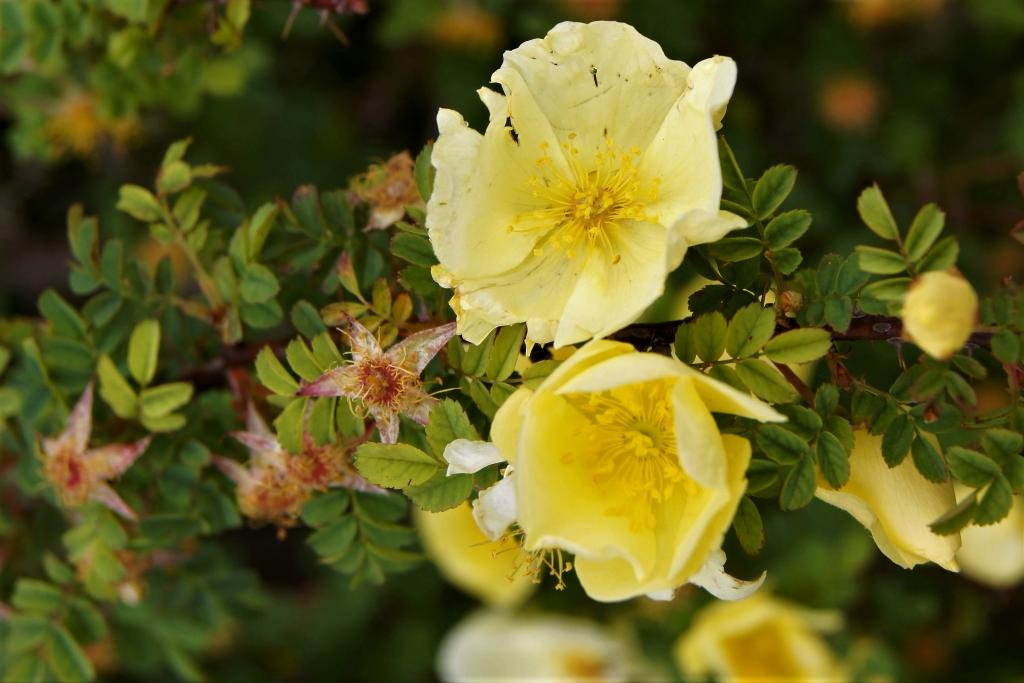 Rosa hugonis (Father Hugo Rose), flower, full