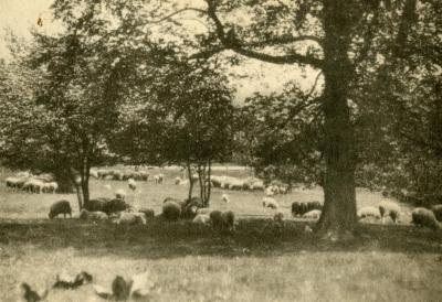 Morton residence grounds, sheep grazing