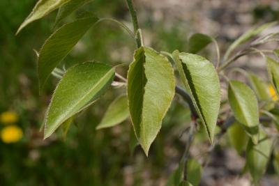 Pyrus betulaefolia (Birch-leaved Pear), leaf, spring