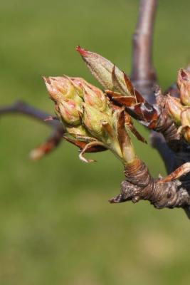 Pyrus betulaefolia (Birch-leaved Pear), bud, flower