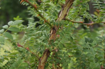 Rosa roxburghii f. normalis (Chestnut Rose), bark, stem