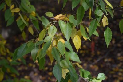 Pyrus betulaefolia (Birch-leaved Pear), leaf, fall