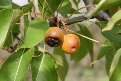 Pyrus betulaefolia (Birch-leaved Pear), fruit, mature