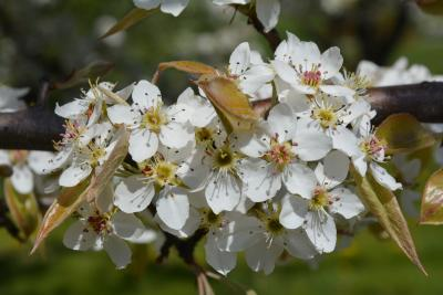 Pyrus betulaefolia (Birch-leaved Pear), flower, throat