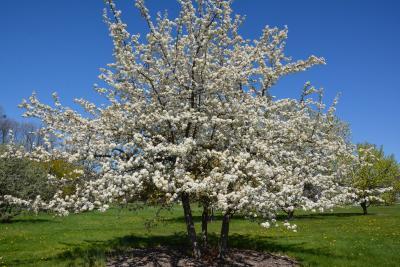 Pyrus betulaefolia (Birch-leaved Pear), habit, spring