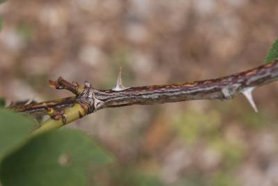 Rosa tomentosa (Tomentose Rose), bark, stem, prickle