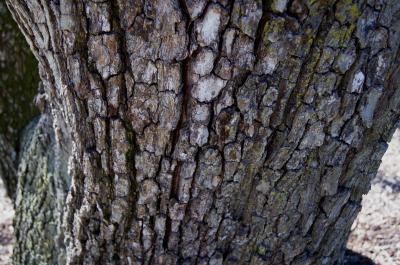 Pyrus calleryana f. tomentella (Callery Pear), bark, trunk