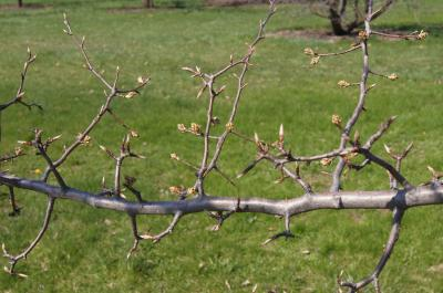 Pyrus betulaefolia (Birch-leaved Pear), bark, branch