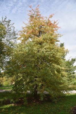 Pyrus betulaefolia (Birch-leaved Pear), habit, fall