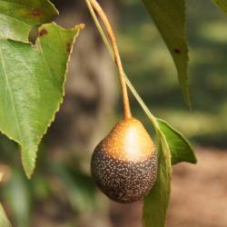 Pyrus phaeocarpa (Dusky Pear), fruit, mature