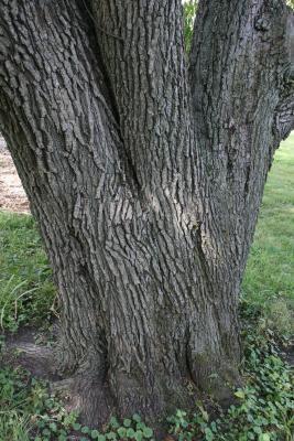 Pyrus calleryana (Callery Pear), bark, trunk
