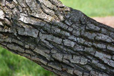 Pyrus phaeocarpa (Dusky Pear), bark, trunk