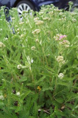 Achillea millefolium 'Oertel's Rose' (Oertel's Rose Yarrow), habit, spring