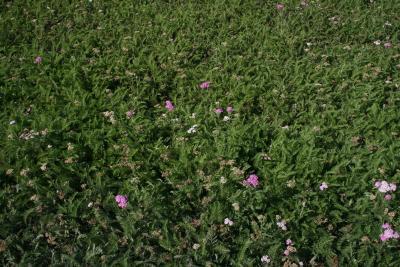 Achillea millefolium 'Oertel's Rose' (Oertel's Rose Yarrow), habit, fall