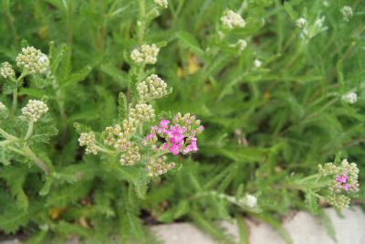 Achillea millefolium 'Oertel's Rose' (Oertel's Rose Yarrow), inflorescence