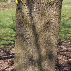 Pyrus pyraster (Wild Pear) bark, trunk