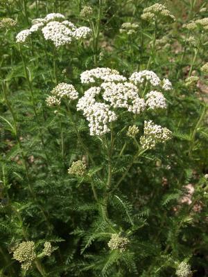 Achillea millefolium (Yarrow), habit, summer