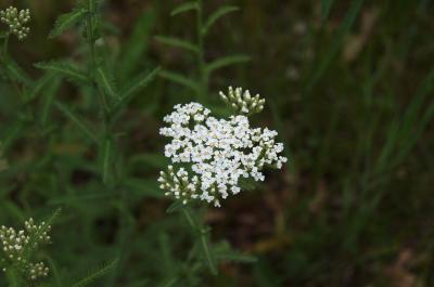 Achillea millefolium (Yarrow), inflorescence