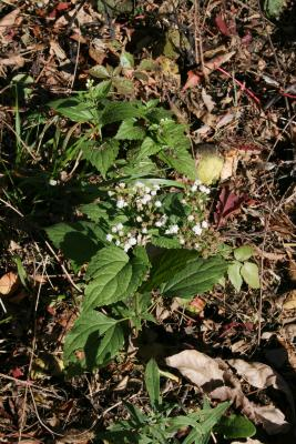 Ageratina altissima var. altissima (White Snakeroot), habit, fall