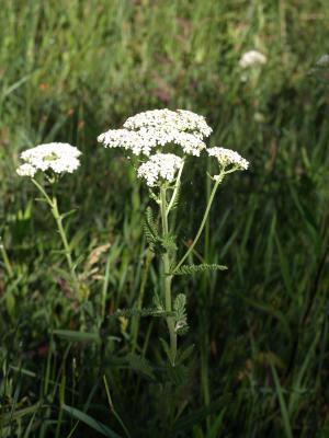 Achillea millefolium (Yarrow), habit, spring