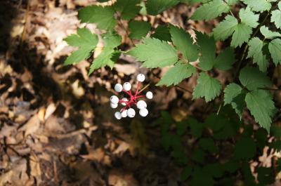 Actaea pachypoda (White Baneberry), infructescence