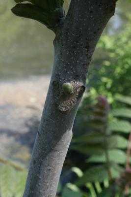 Ailanthus altissima (Tree Of Heaven), bud, lateral