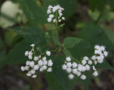 Ageratina altissima var. altissima (White Snakeroot), inflorescence