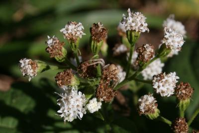 Ageratina altissima var. altissima (White Snakeroot), flower, full