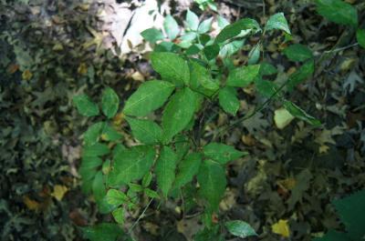 Actaea pachypoda (White Baneberry), habit, fall