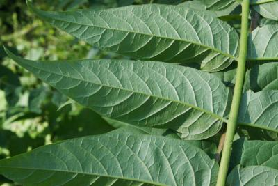 Ailanthus altissima (Tree Of Heaven), leaf, lower surface