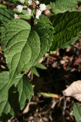 Ageratina altissima var. altissima (White Snakeroot), leaf, upper surface