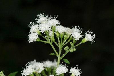 Ageratina altissima var. altissima (White Snakeroot), flower, side