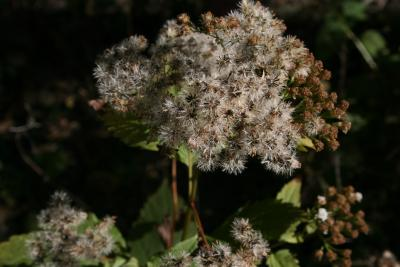 Ageratina altissima var. altissima (White Snakeroot), infructescence