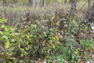 Ageratina altissima var. altissima (White Snakeroot), habitat
