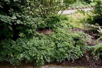 Actaea racemosa (Black Snakeroot), habit, summer