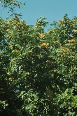 Ailanthus altissima (Tree Of Heaven), habit, summer