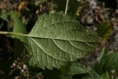 Ageratina altissima var. altissima (White Snakeroot), leaf, lower surface