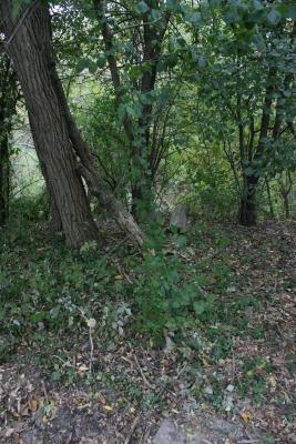 Akebia quinata (Five-leaved Akebia), habitat
