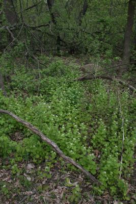 Alliaria petiolata (Garlic-mustard), habitat