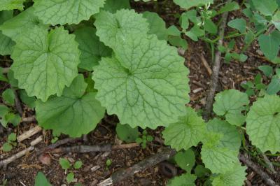Alliaria petiolata (Garlic-mustard), leaf, upper surface